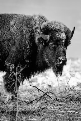 A frost-covered bison standing near the Kelly Warm Spring.