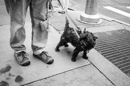 A small doggie on a walk on Broadway on Lower Manhattan.