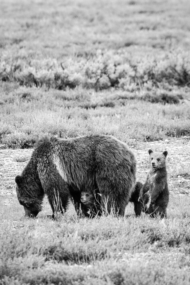 A grizzly sow digging in the ground, with her four cubs next to her. One is visible under her belly, and another is standing on its hind legs behind her.