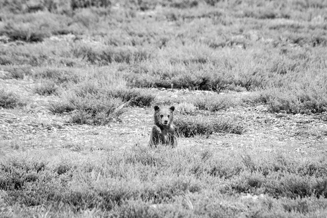 A grizzly bear cub sitting behind some sage brush.