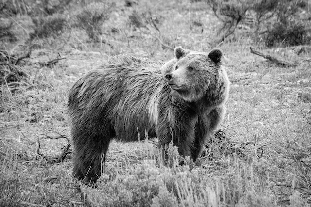 Side view of Grizzly 399. She's looking over her shoulder to her right, and her fur is a little wet.
