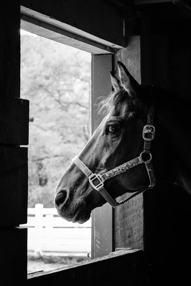 Dickerson, a 15-year-old fox trotter, looking out a window.