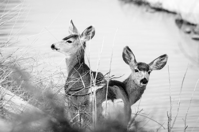 Two mule deer standing on the banks of the Gros Ventre river.