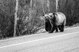 Two grizzly bear cubs walking side to side alongside a road in Grand Teton National Park.