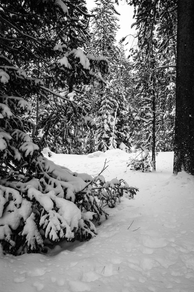 Snow-covered woods on the Moose-Wilson Road, Grand Teton National Park.