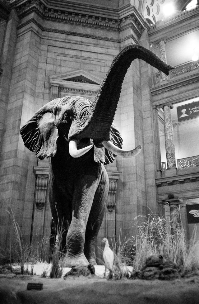 The iconic elephant at the rotunda of the National Museum of Natural History.