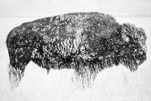 A bison bull, covered in snow, and standing in a field near Antelope Flats while it snows.