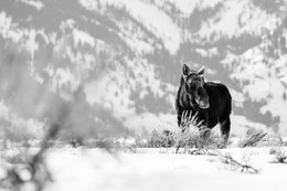 A bull moose standing in the brush and snow of Antelope Flats.