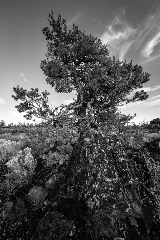 A limber pine growing out of hardened lava at Devils Orchard, Craters of the Moon.