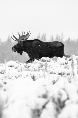 A bull moose walking through snow-covered sage brush.
