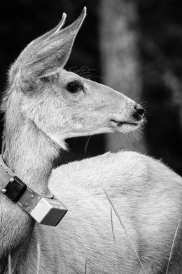 A side close-up of a doe wearing a tracking collar.