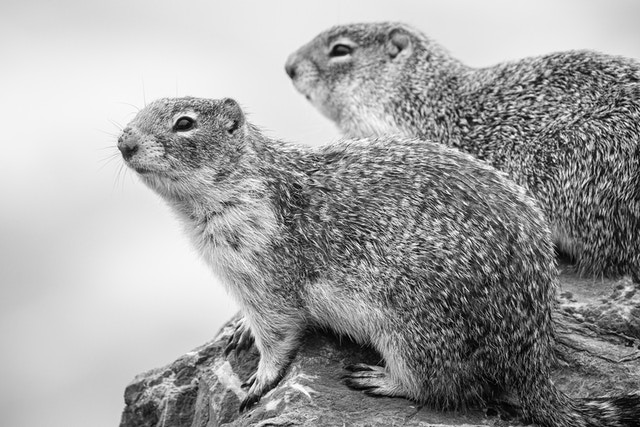 Two columbian ground squirrels side by side on a rock. The one in the foreground has water droplets on its nose.