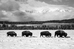 A row of four bison walking in the snow at the Elk Ranch Flats, with the Teton Range in the background.