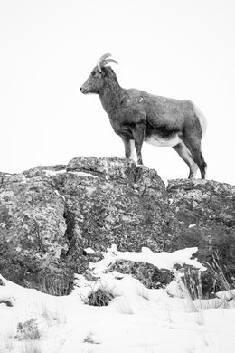 A bighorn sheep standing at the top of a rocky, snow-covered ridge at the National Elk Refuge.