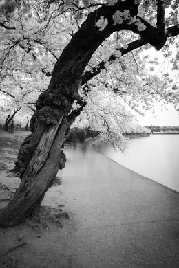 A blooming cherry tree along the edge of the Tidal Basin in Washington, DC.