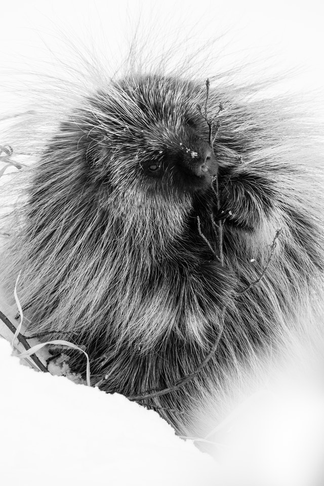 A porcupine gnawing on a branch in the snow.