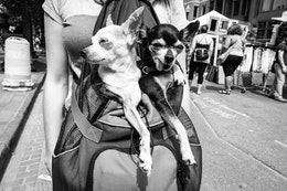 Two doggos hanging out in a woman's backpack.