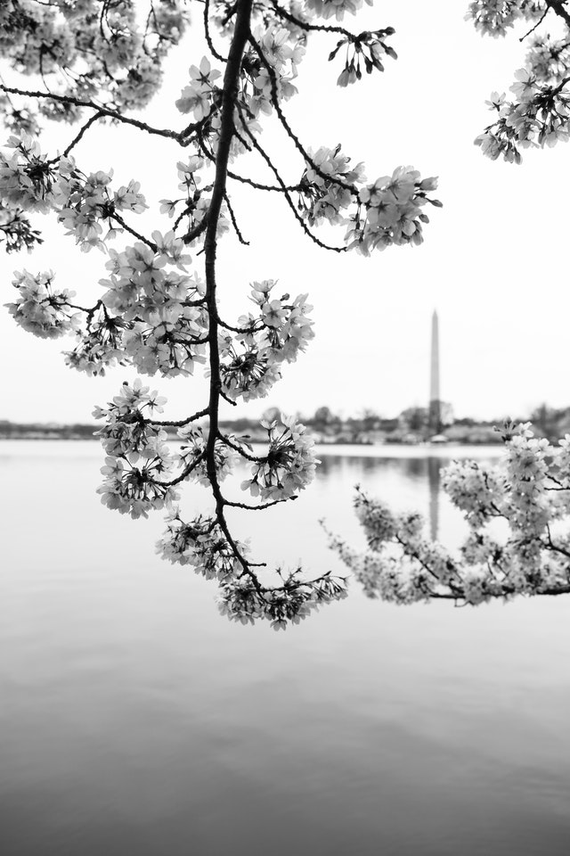 Cherry blossoms by the Tidal Basin, with the Washington Monument in the background.