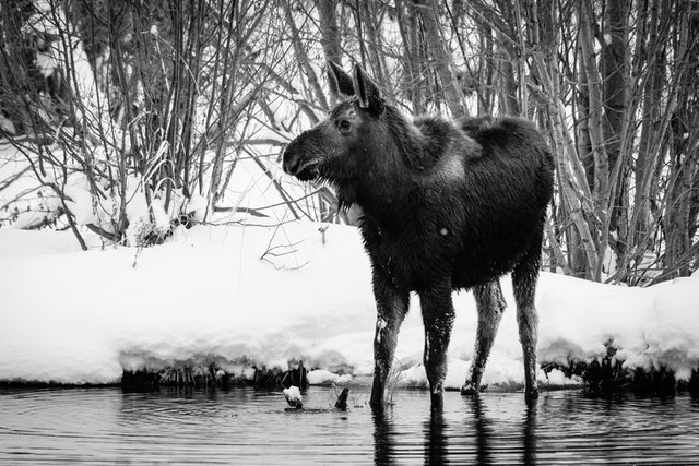 A young moose with wet fur standing in a pond.