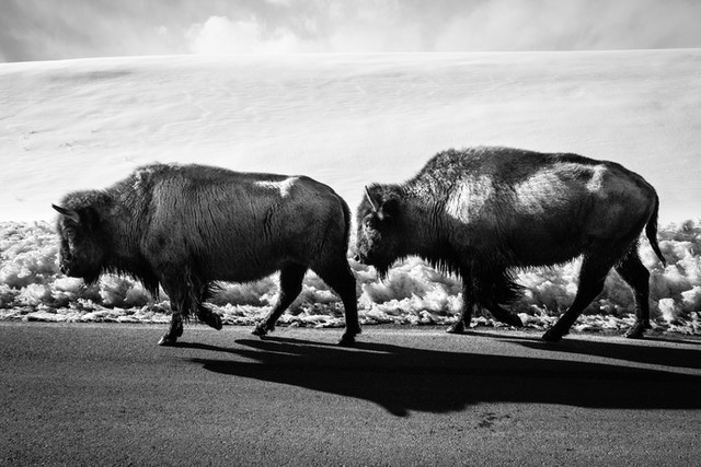 Two bison walking on the Gros Ventre Road.