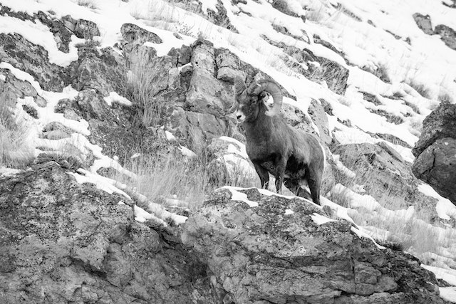 A bighorn sheep ram standing on a rock outcropping at the National Elk Refuge.