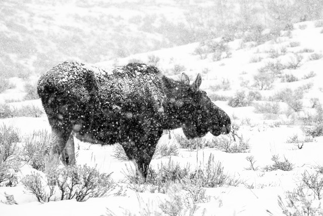 A bull moose walking on the sage brush near Antelope Flats during heavy snowfall.
