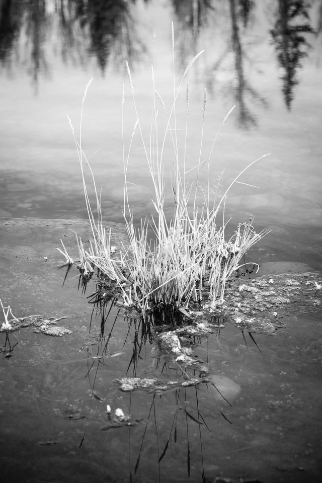 Reeds protruding from the surface of the frozen Snake River.
