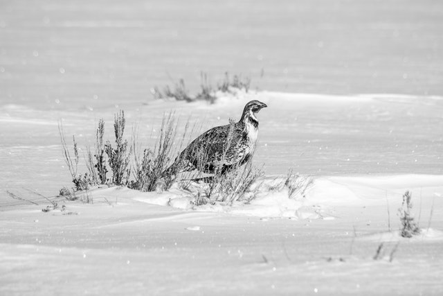 A greater sage-grouse, sitting behind a snow-covered sage brush at Antelope Flats.