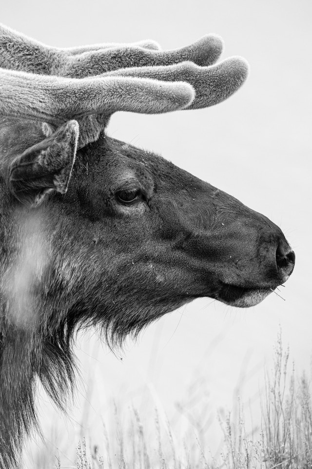 A side profile close-up of a bull elk. Four tines of his antlers can be seen, covered in velvet.