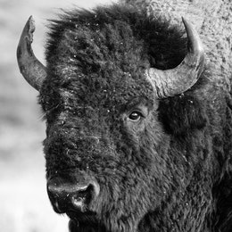 Close-up portrait of a bison bull.