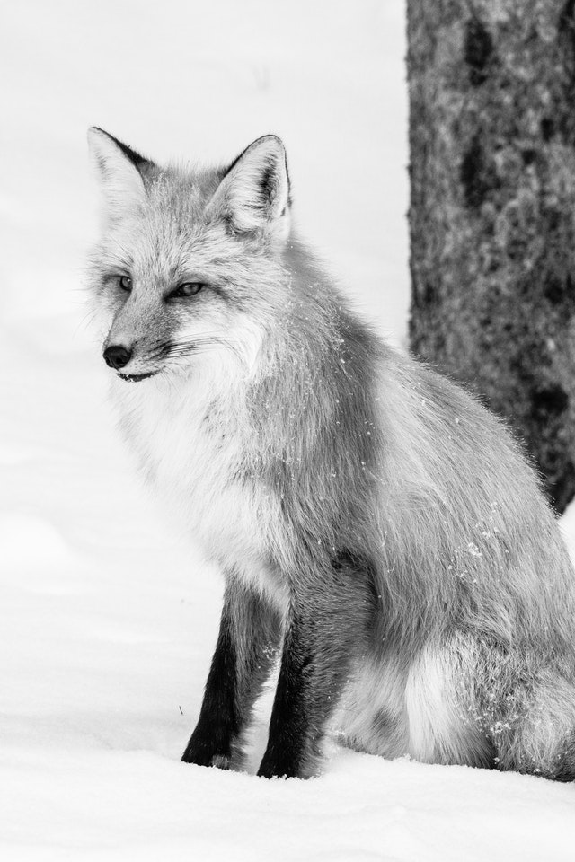 A red fox sitting in the snow next to a tree, looking towards the side.