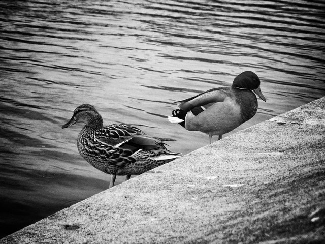 Ducks at the Capitol Reflecting Pool.