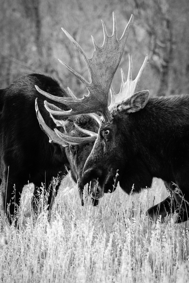 Two bull moose, facing off. The one in the foreground has bigger paddles and is looking left; the one in the background is staring at the first one.