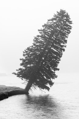 A tree tilted at about a 30° angle on the banks of the Snake River, and shrouded in fog.