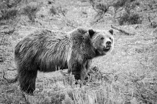 Side view of Grizzly 399. She's looking to her right, and her fur is a little wet.