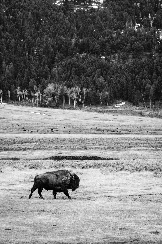 A lone bison, walking in the Lamar Valley. A large group of bison can be seen in the distance.