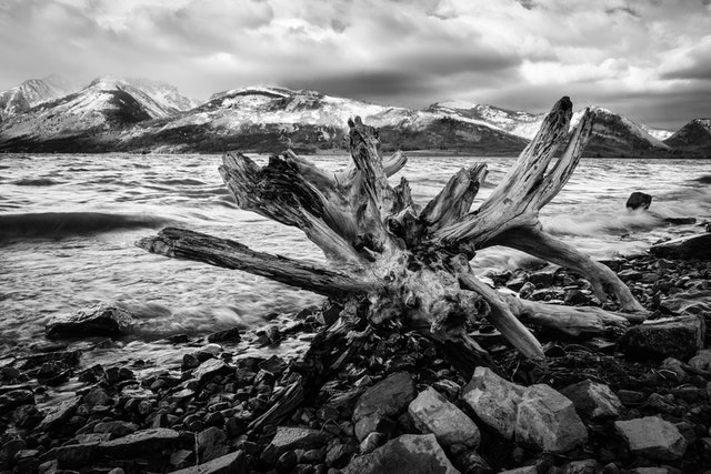 A big piece of driftwood on the shore of Jackson Lake.