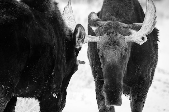 Two bull moose facing off while sparring near the Kelly Warm Spring, Grand Teton National Park.