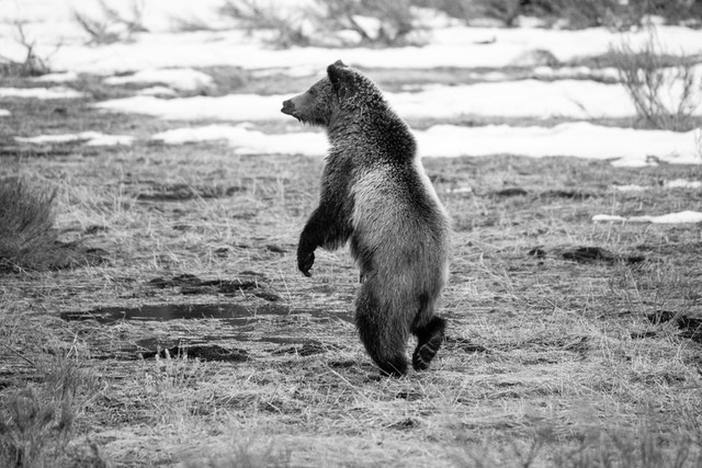 A two-year old grizzly bear cub walking on its hind legs in a partially snow-covered field.