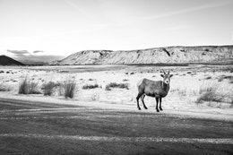 A bighorn sheep ewe standing on the side of the road at the National Elk Refuge, with Jackson and the East Gros Ventre Butte in the background.