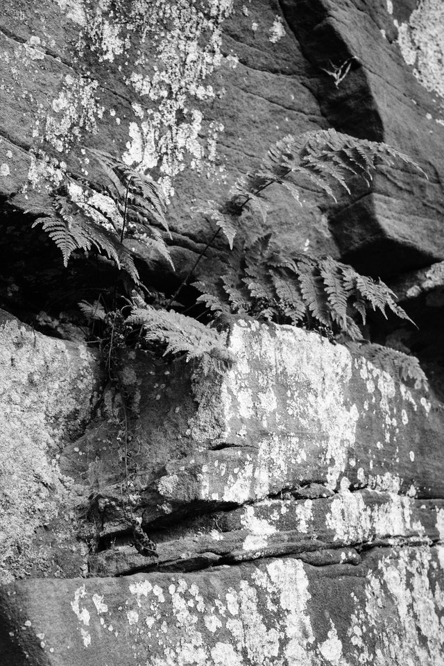 A fern poking out of a crack in a rock at Cuyahoga Valley National Park in Ohio.