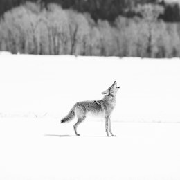 A coyote howling in the snow on Antelope Flats, Grand Teton National Park.