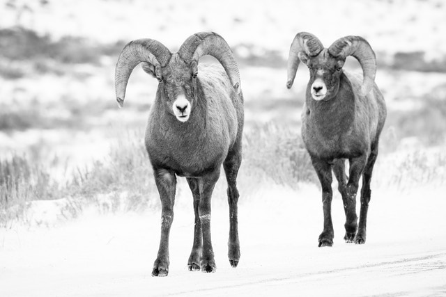 Two bighorn sheep rams walking along the road at the National Elk Refuge.