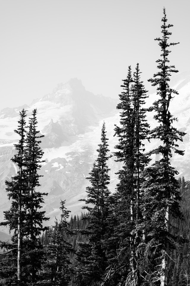 Mountains seen behind a group of trees in Mt. Rainier National Park.