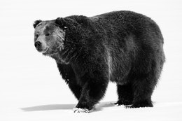 A male grizzly bear, standing in the snow.