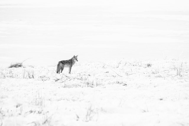 A coyote standing on a snow-covered field next to a frozen pond at the National Elk Refuge.