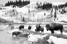 A group of seven bison eating next to a stream near the Kelly Warm Spring. The one closest to the camera is sticking its tongue out.