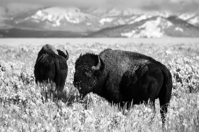 Two snow-covered bison at Antelope Flats, in Grand Teton National Park.