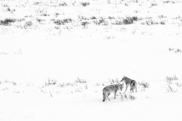 Two coyotes standing in a snow-covered field at the National Elk Refuge. The one on the left is looking towards the camera.