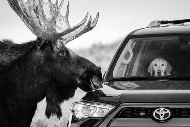 A moose staring at a dog with an incredulous look on its face inside an SUV parked alongside Antelope Flats Road.